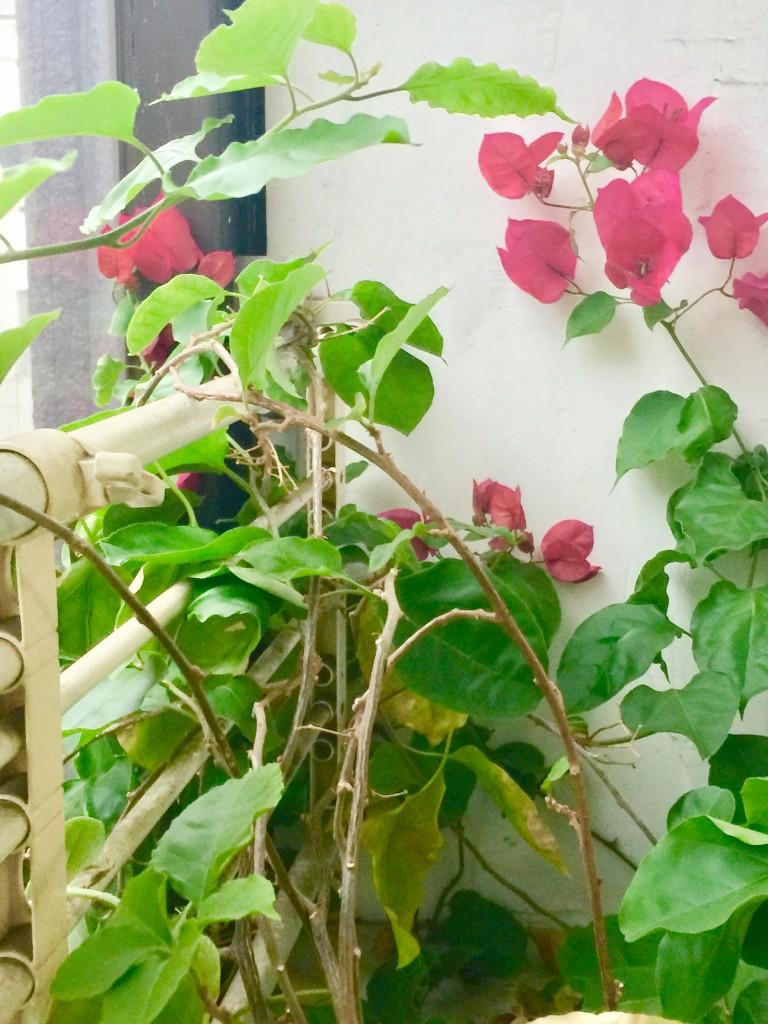 鍼灸院の待合室のお花が綺麗に咲きました